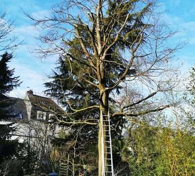 Olea - Taille, éclaircie et suppression de branches